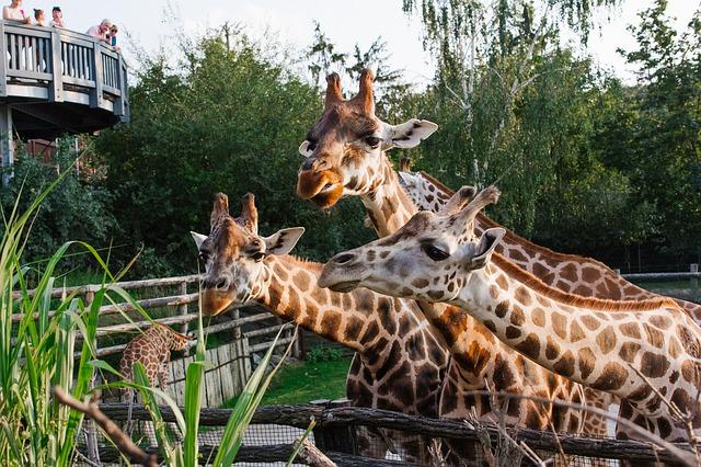 žirafy v zoologické zahradě.jpg